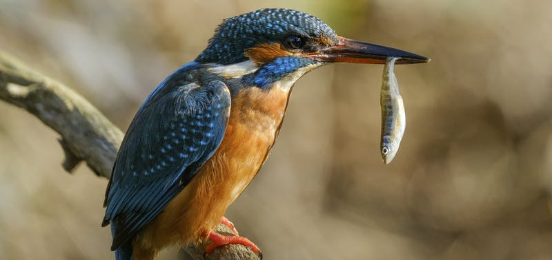 Kingfisher with fish in beak