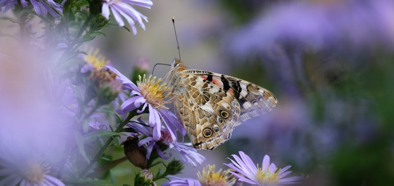 A Painted Lady butterfly standing on purple Asters