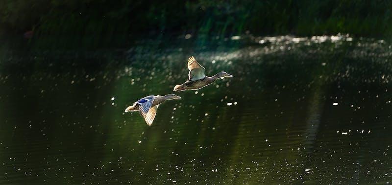Two Mallard ducks mid-flight