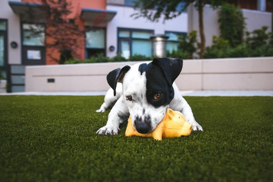 Dog playing with toy pig outside in grass