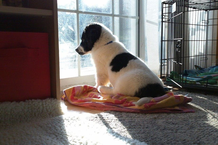 Puppy looking outside through window