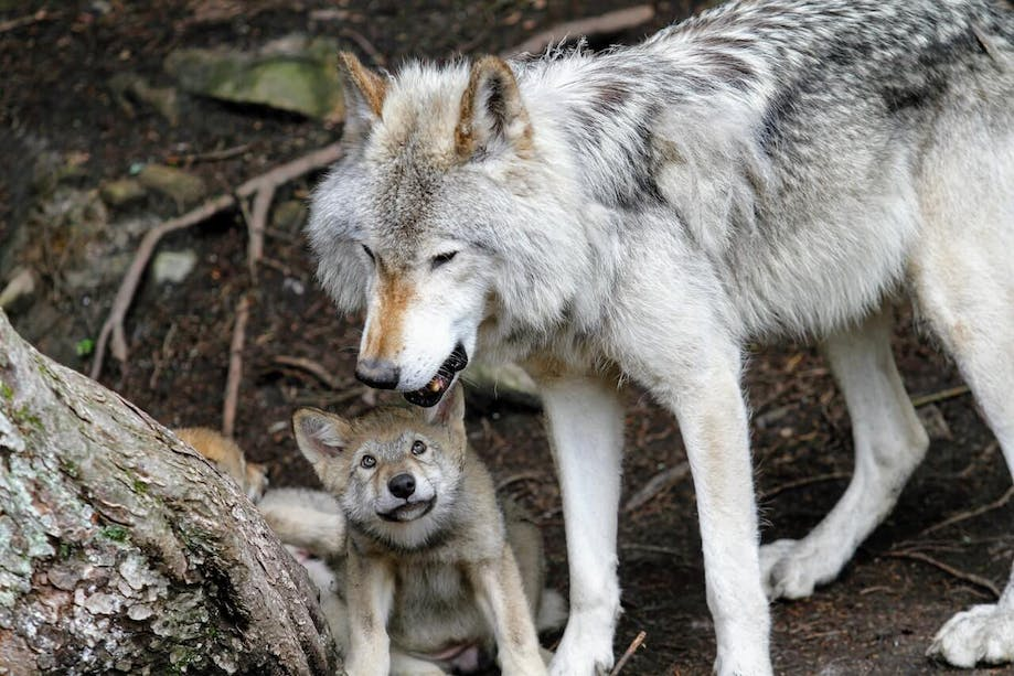 Wolf with young cub