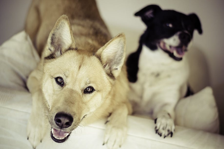 Mixed breed dog and purebred dog sitting together