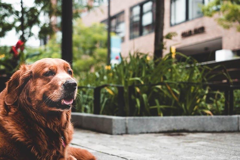 Older dog resting outside