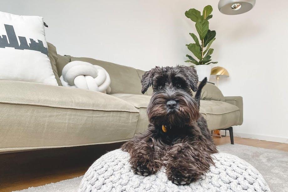 Black dog sitting on a pillow inside