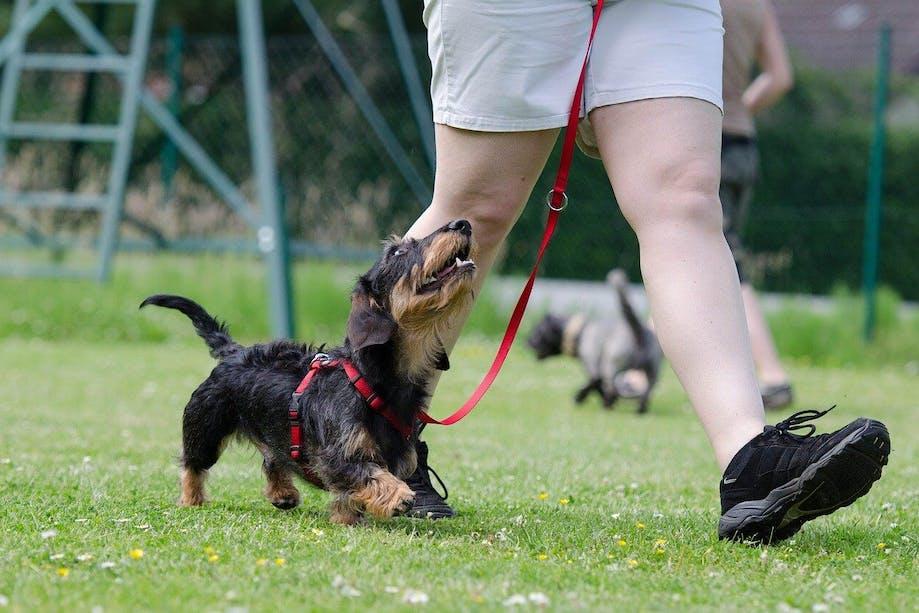 Dachshund walking on a leash