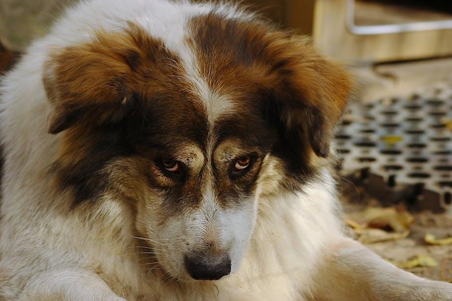 """Dog making """"puppy dog"""" eyes"""