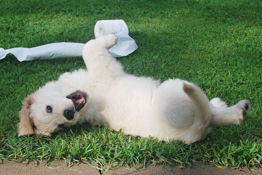 Puppy rolling on its back in the grass