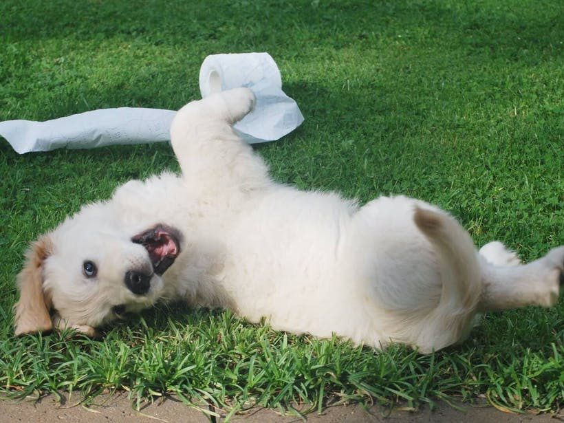 Puppy rolling around outside with toilet paper