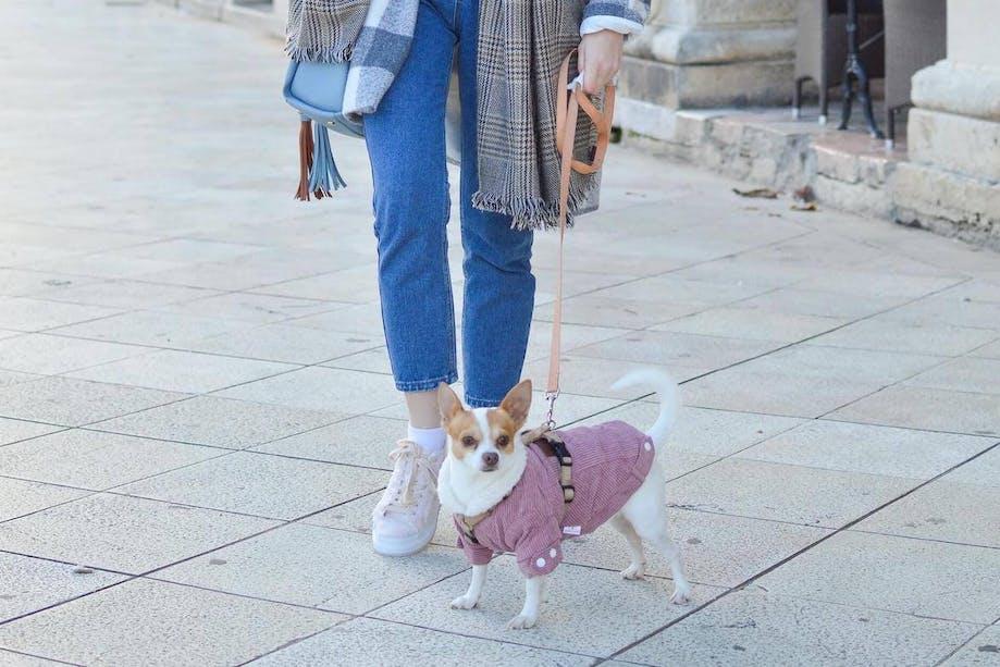 Woman walking her Chihuahua