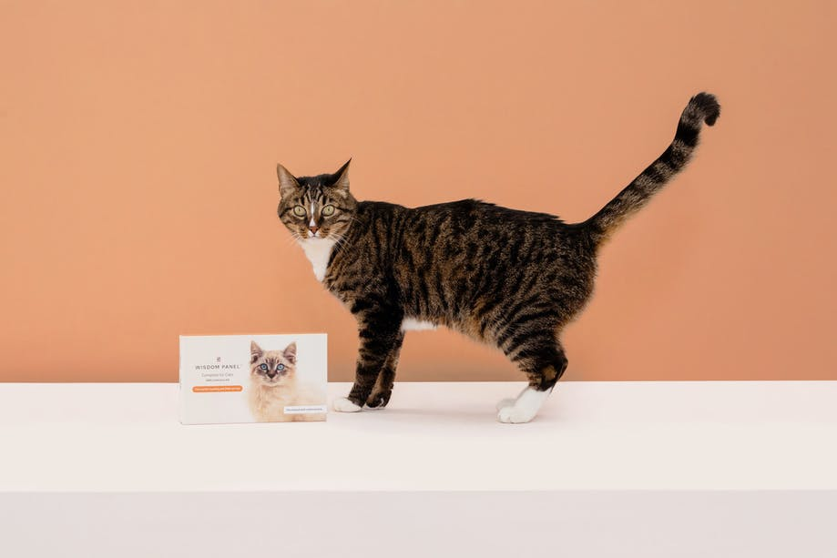 Cat standing next to Wisdom Panel™ Complete for Cats DNA test collection kit package