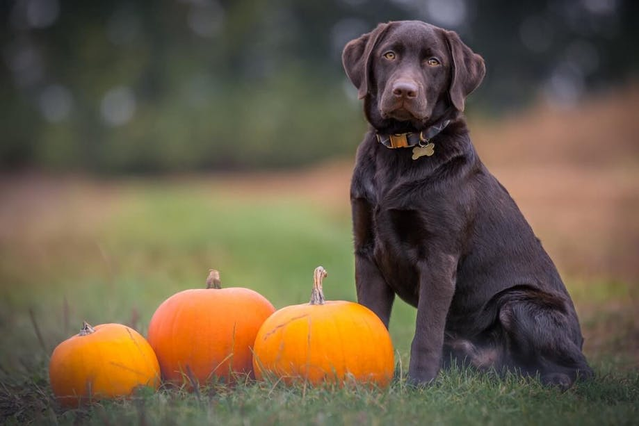 Chocolate Lab sitting next to three pumpkins