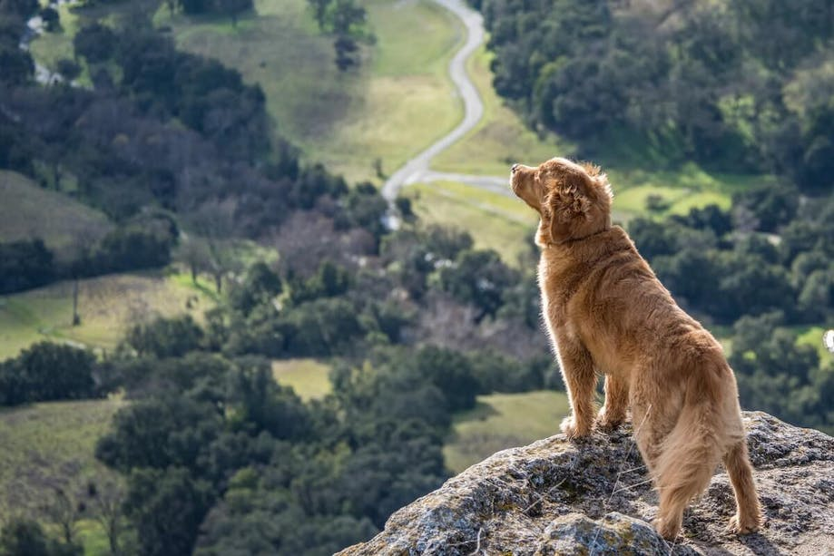Golden Retriever on a hike