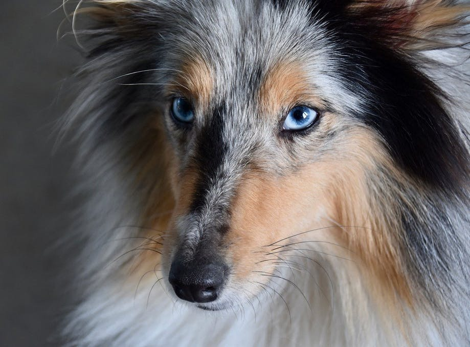 A blue-eyed Collie with the merle gene variant