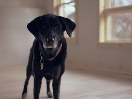 Old Labrador Retriever