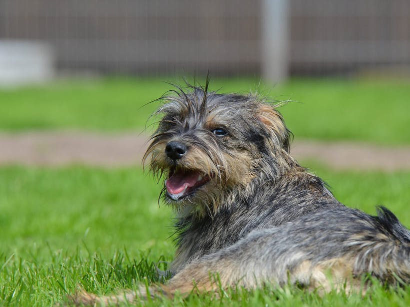 Dog lying in grass and looking over its shoulder