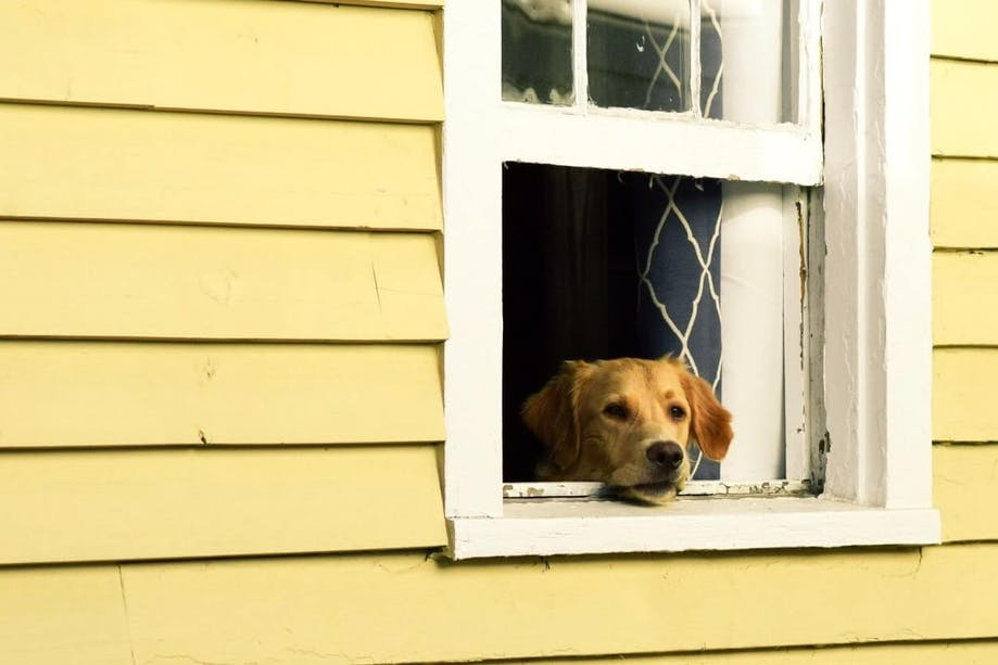Quarantined dog looking out of window