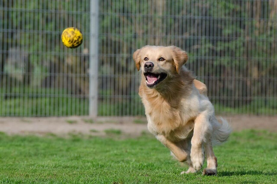 Dog chasing a ball from a game of fetch