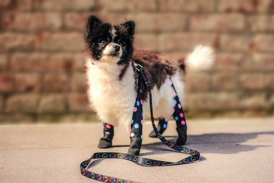 Dog wearing Walkee Paws™ leggings