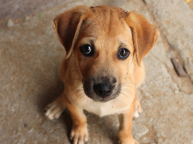 """Puppy staring into the camera with """"puppy dog"""" eyes"""