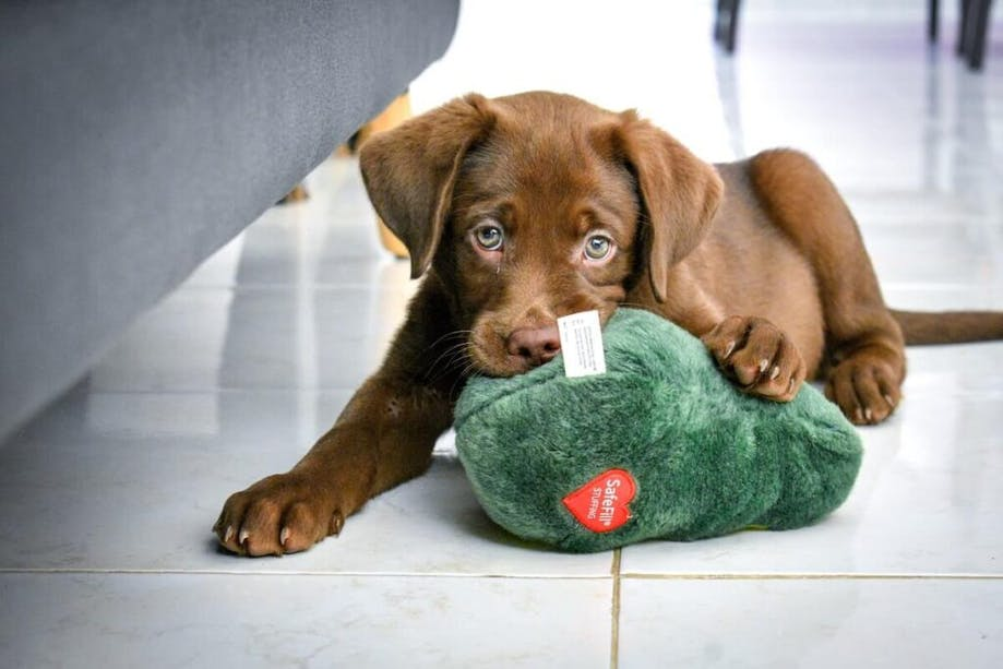 Chocolate Lab puppy chewing on toy