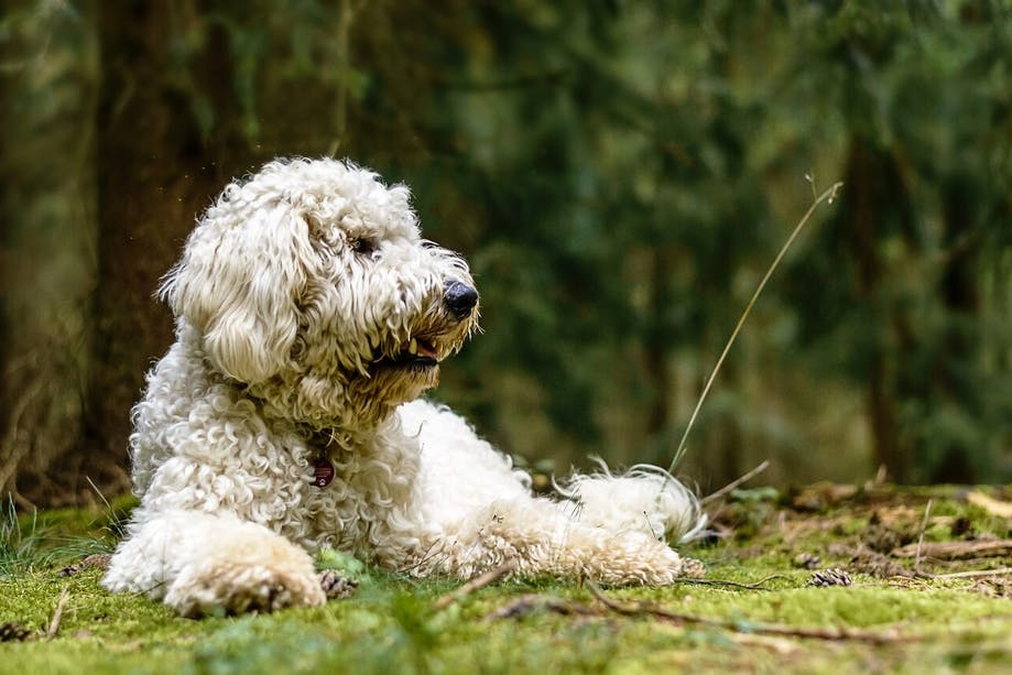 Golden doodle lying in the grass