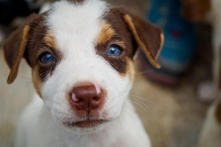 Blue eyes in puppies