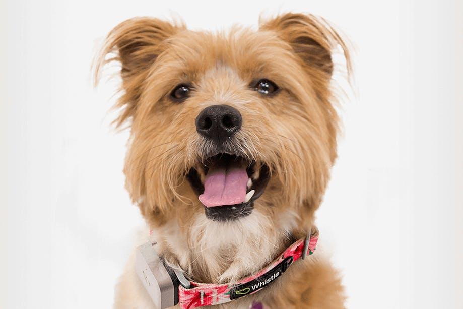 Dog wearing Whistle health tracker