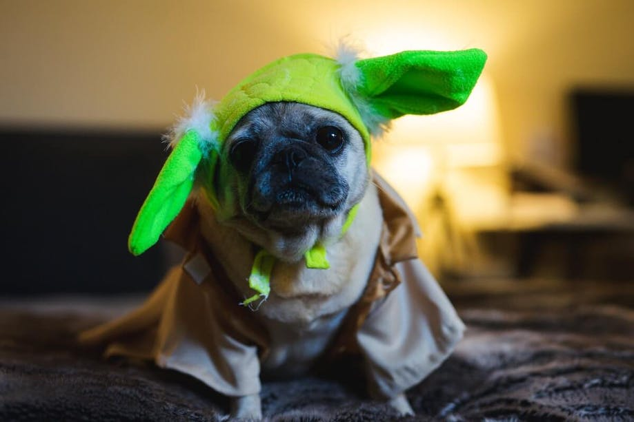 Dog in Yoda Halloween costume