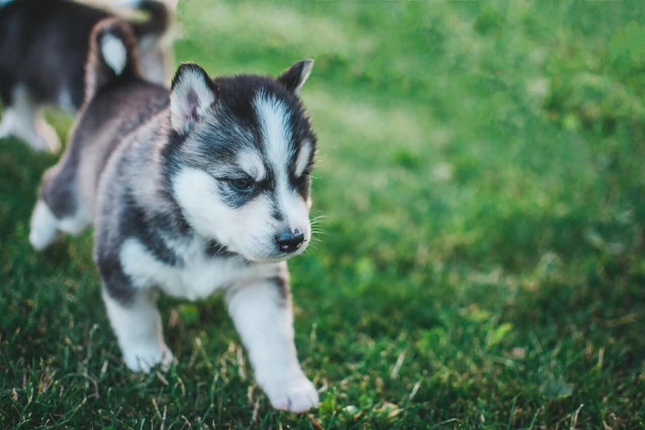 Husky puppy going potty outside in the grass