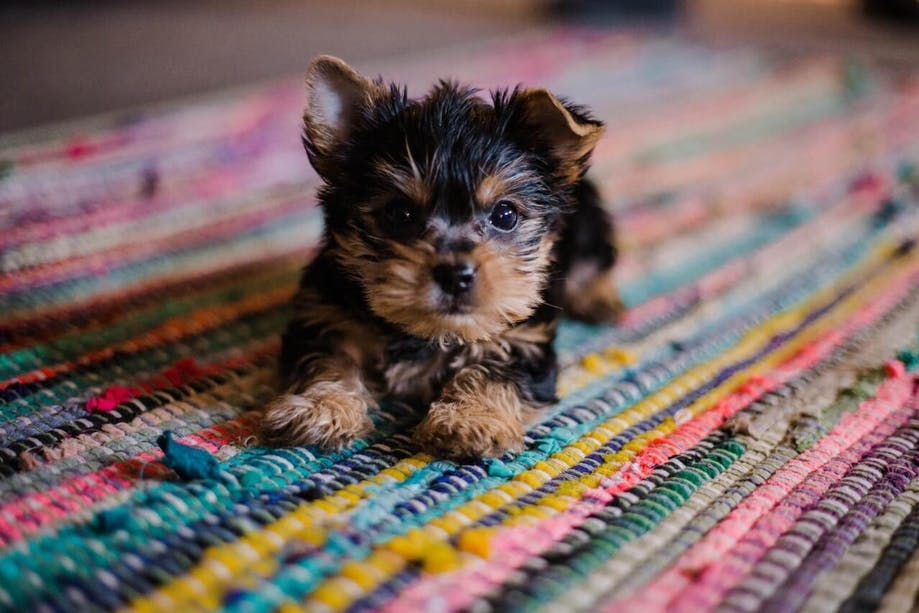 Yorkie puppy lying on a colorful rug