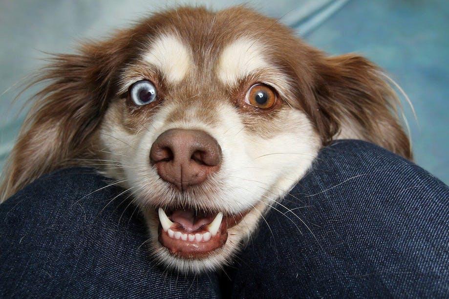 Smiling heterochromia dog