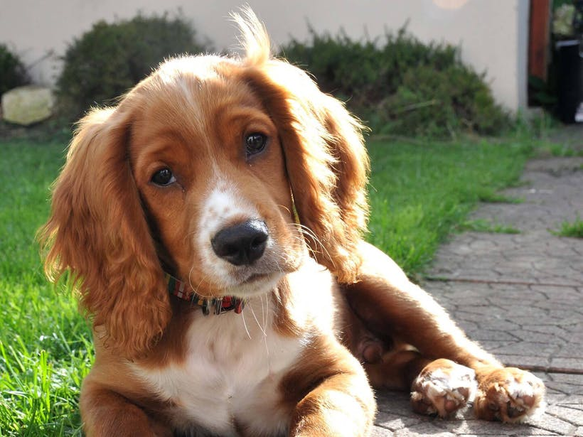 DCM in Dogs: What Is Dilated Cardiomyopathy?
