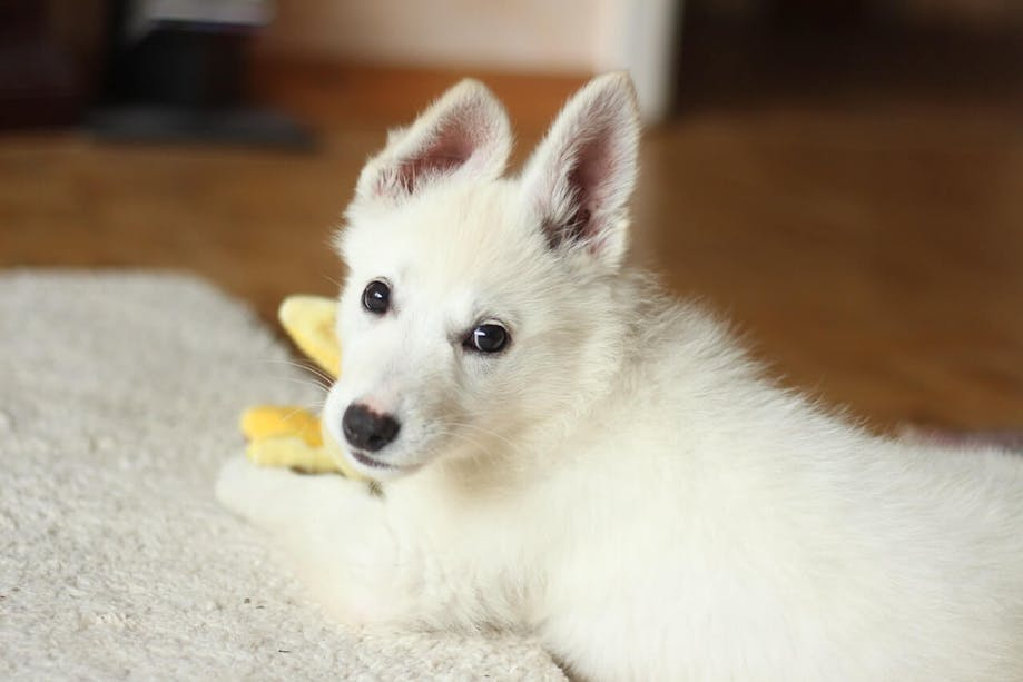 White dog with perked ears