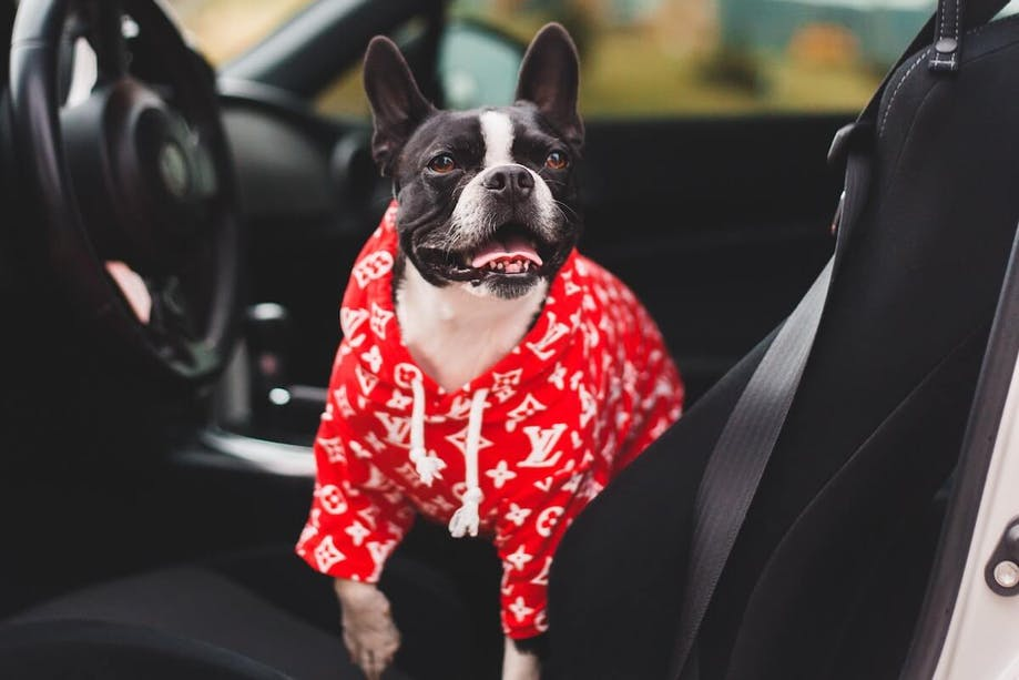 Dog in hoody getting ready for road trip