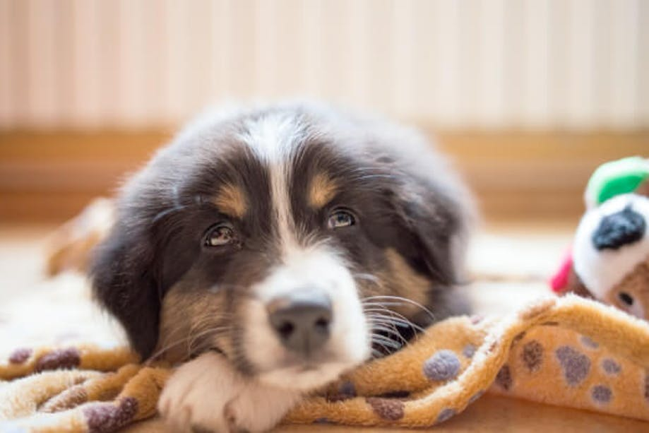 Puppy with a blanket