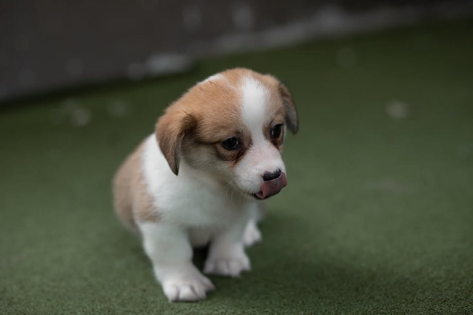 Young puppy sitting on grass-like surface