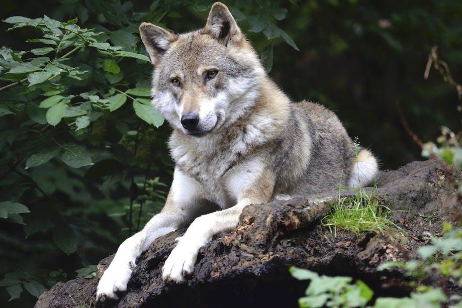 Wolf lying dog