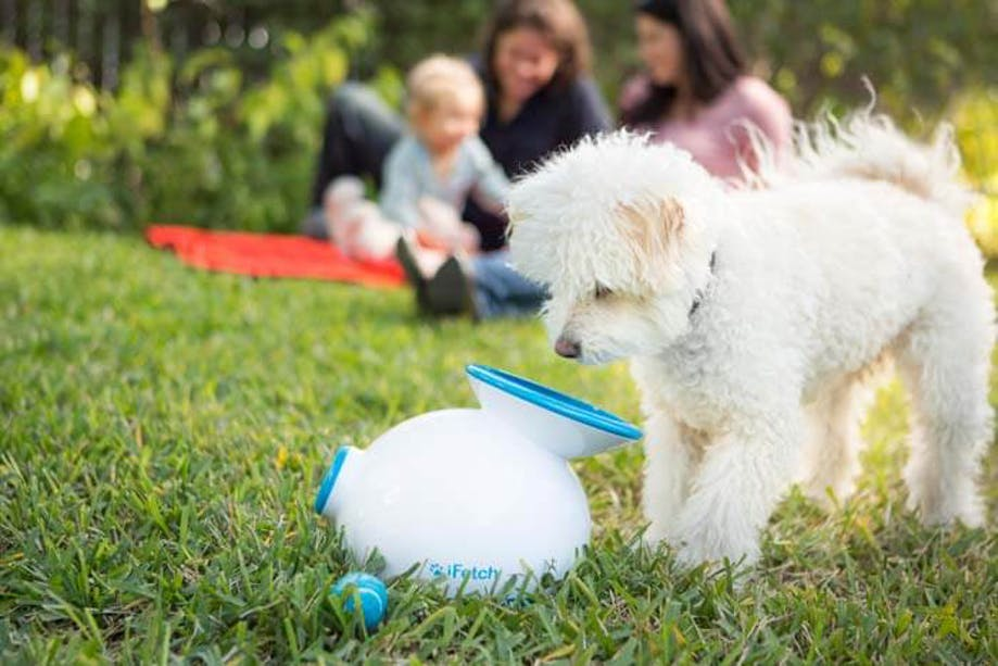White dog inspecting iFetch automatic ball launcher