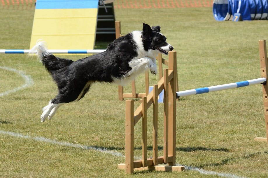 Border Collie jumping over obstacle