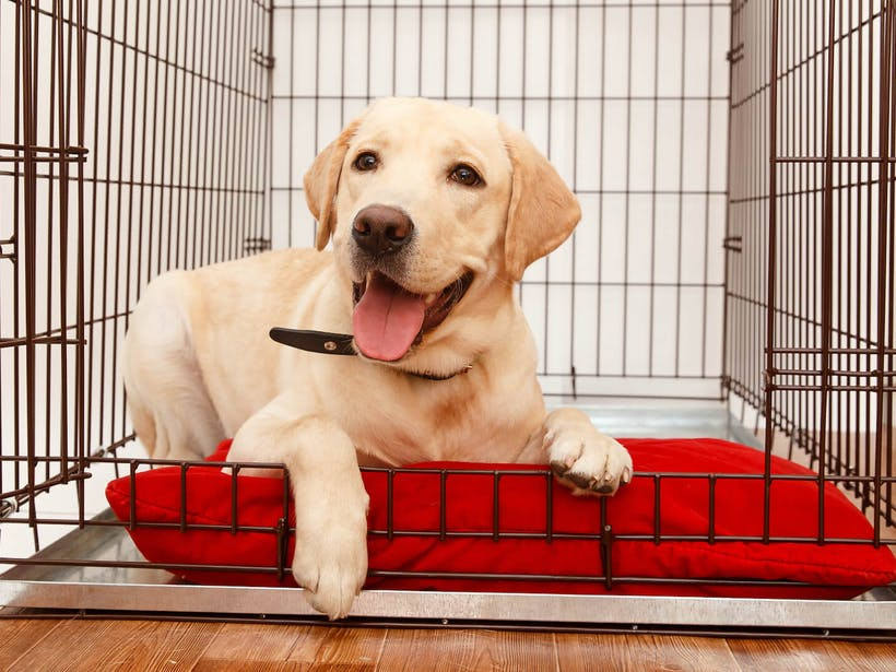A pup getting comfortable in crate