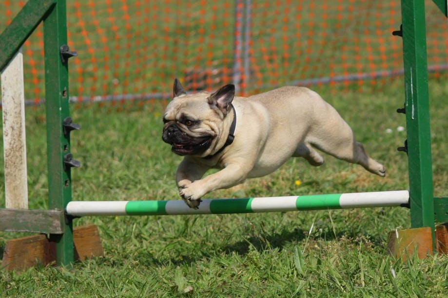 Pug jumping over a bar in an obstacle course