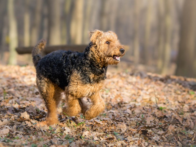 Airedale Terrier running through leaves