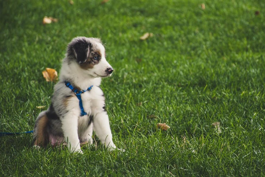 Puppy wearing a harness in a yard