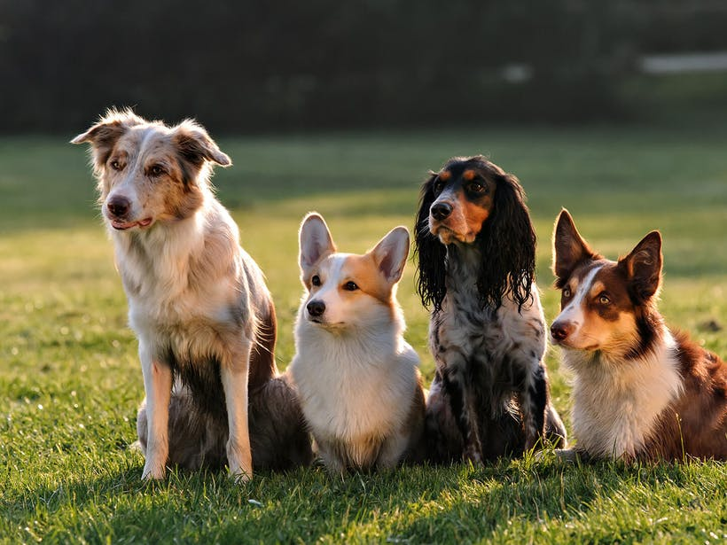Dog Obedience Training: Why Breed Is the Secret to Success