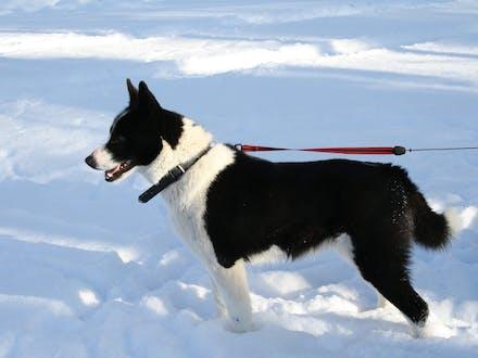 Finnish dog breed