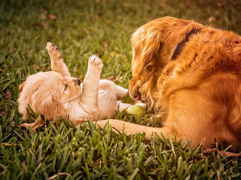 Mother dog playing with puppy