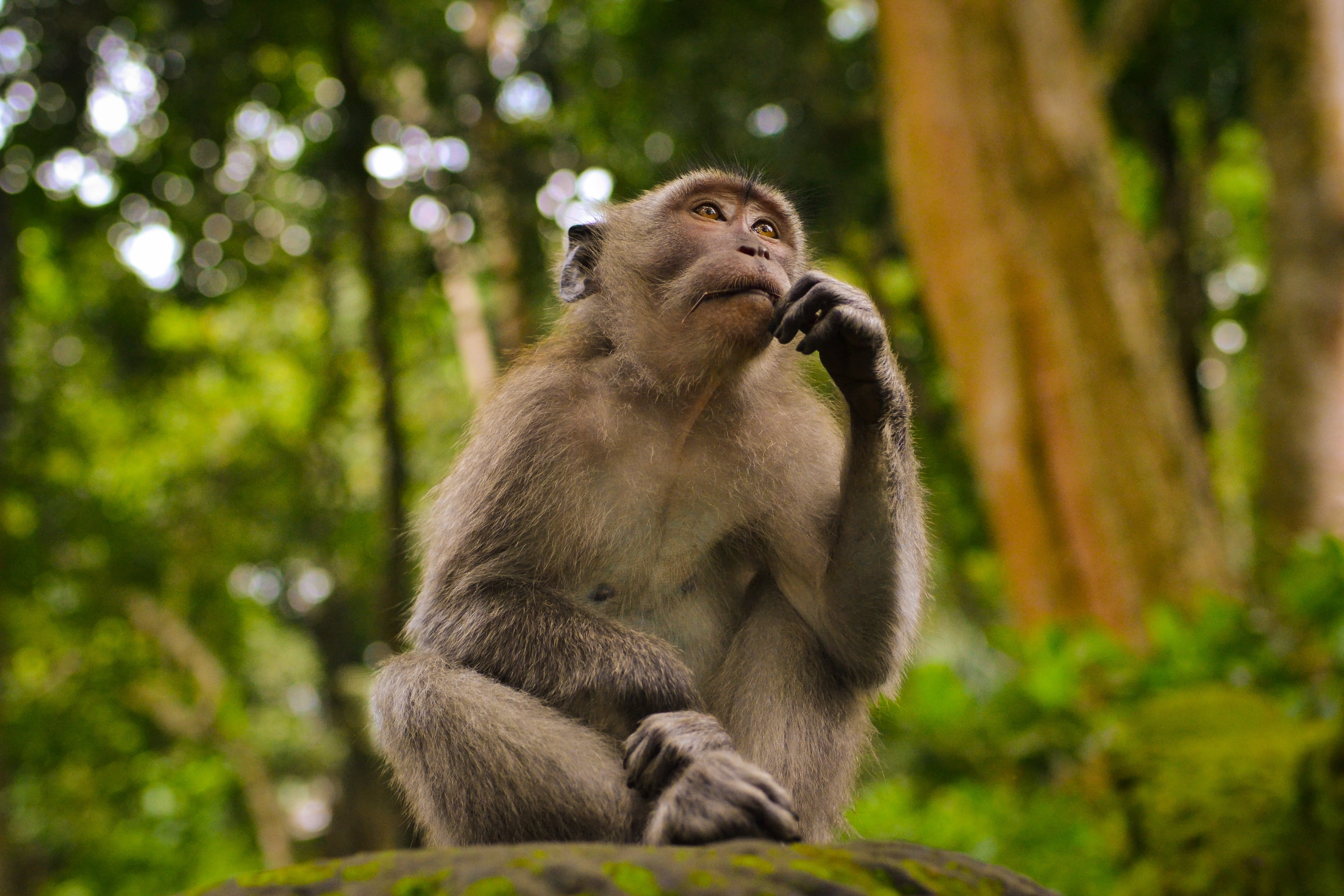 A picture of Juan the monkey thinking