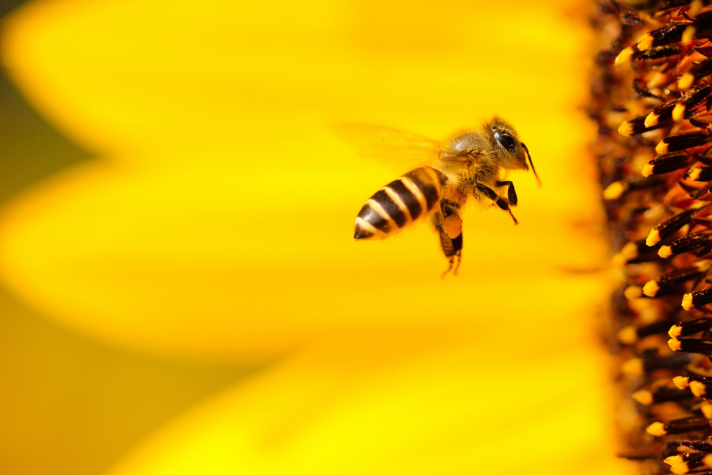 A macro photo of a bee near a sunflower.