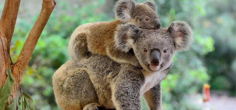 Koala and her baby at Lone Pine Koala Sanctuary, Gold Coast.